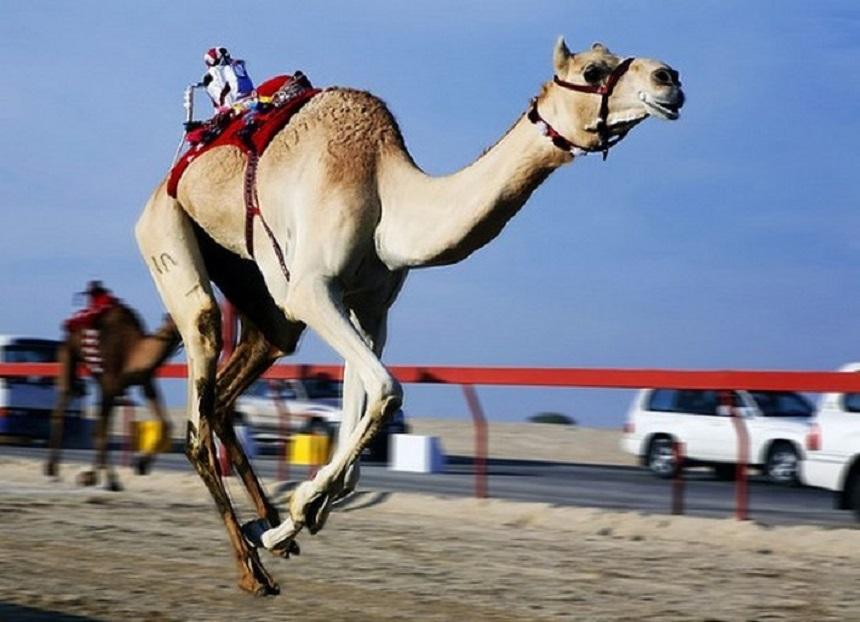 Бега верблюдов ОАЭ